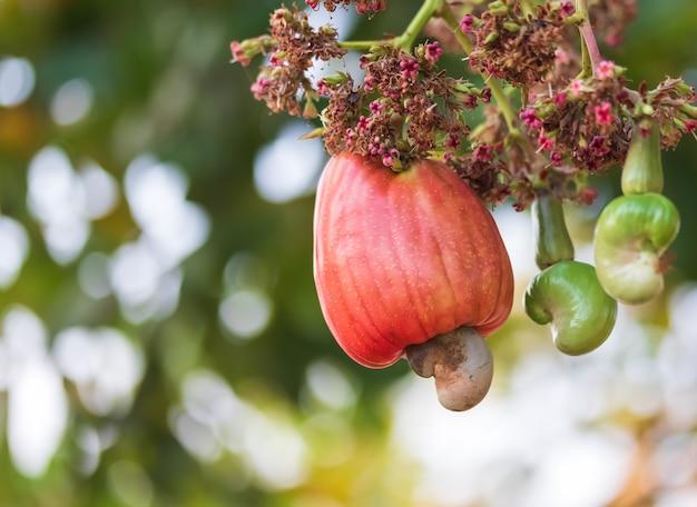 Cashewnüsse wachsen auf einem baum
