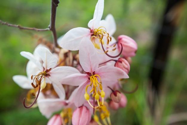 Cassia-fistel-baumblüte im frühjahr auf hawaii, usa. schöner natürlicher frühlingshintergrund.