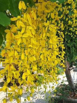 Cassia-fistel-blüten, die allgemein als goldene schauer bekannt sind