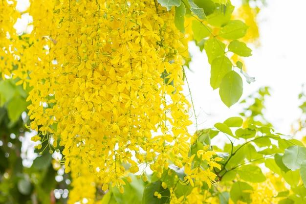 Cassia fistura, schöne frau am straßenrand