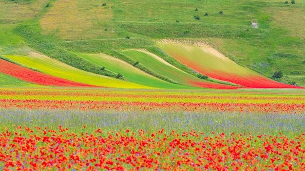 Castelluccio di norcia hochland, italien, blühende felder, touristische berühmte bunte blühende ebene im apennin. landwirtschaft von linsenernten und rotem mohn. Premium Fotos