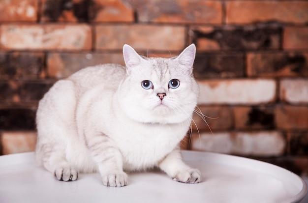 Cat scottish fold, chinchilla färbung