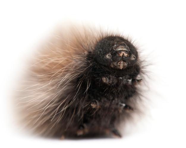 Caterpillar of grass eggar, ist eine motte, lasiocampa trifolii, auf weiß isoliert