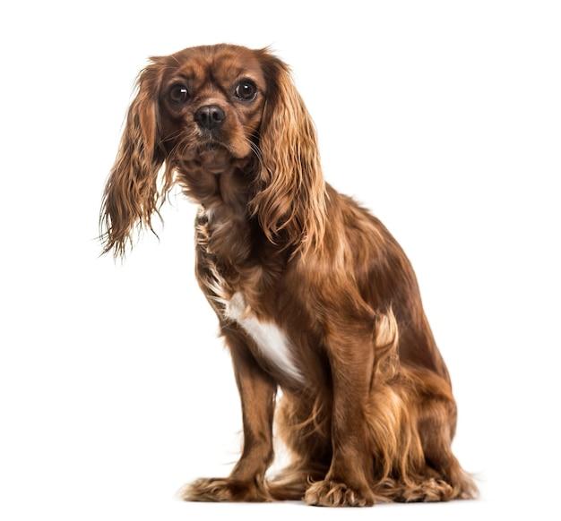 Cavalier king charles spaniel, 1 jahr alt, sitzt gegen weiße oberfläche
