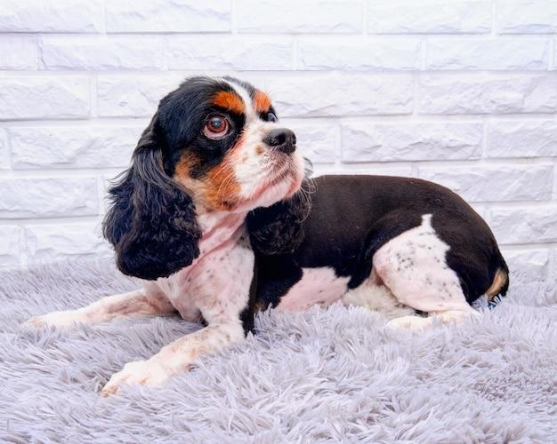 Cavalier king charles spaniel liegt nach der pflege auf einem weißen backsteinhintergrund Premium Fotos