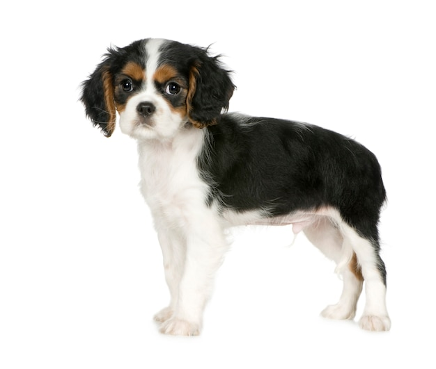 Cavalier king charles spaniel mit 3,5 monaten. hundeporträt isoliert
