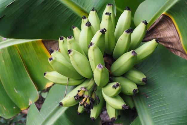 Cavendish banane