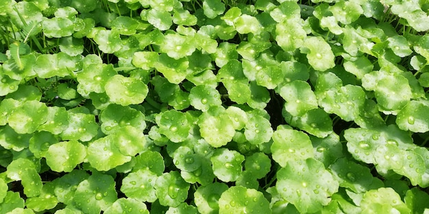Centella asiatica, heilpflanzen mit medizinischen eigenschaften