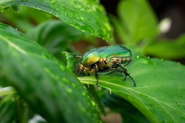 Cetonia aurata grünes blatt