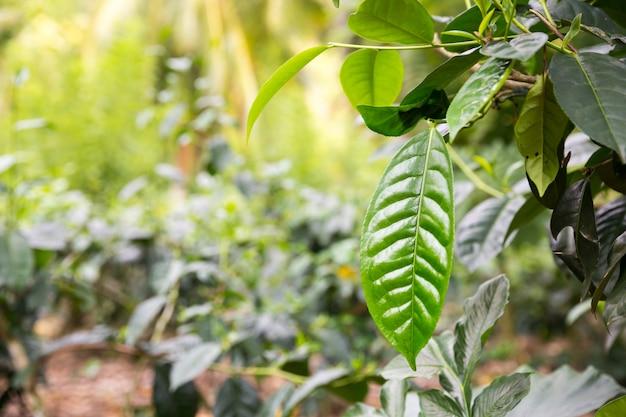 Ceylon tee grün blätter nahaufnahme ansicht, plantagen von sri lanka. felder ernten