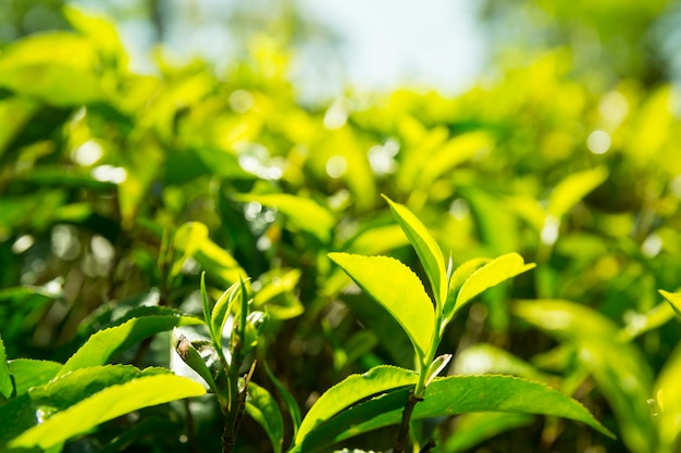 Ceylon tee grüne pflanzen nahaufnahme ansicht, plantagen von sri lanka. felder ernten