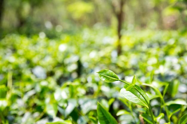 Ceylon teebüsche, grüne plantagen von sri lanka