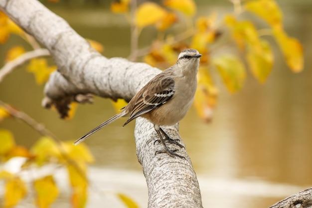 Chalkbrowed mockingbird thront im herbst in einem ast