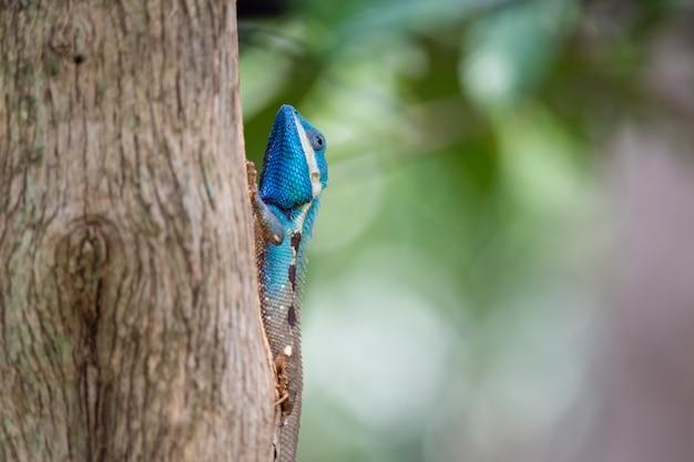 Chamäleon, eidechse, spezies des chamäleons im tropischen wald