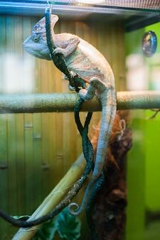 Chamäleon im zoo