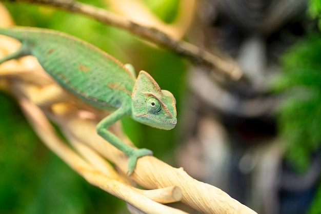 Chamäleon sitzt auf einem ast im dschungel exotisches grünes reptil-dschungel-echsenchamäleon, das auf tropischen reben im dschungel ruht hochwertiges foto