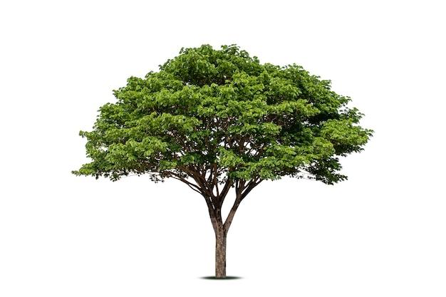 Chamchuri-baum (raintree) oder samanea-saman-baum lokalisiert auf weißem hintergrund, weichzeichner.