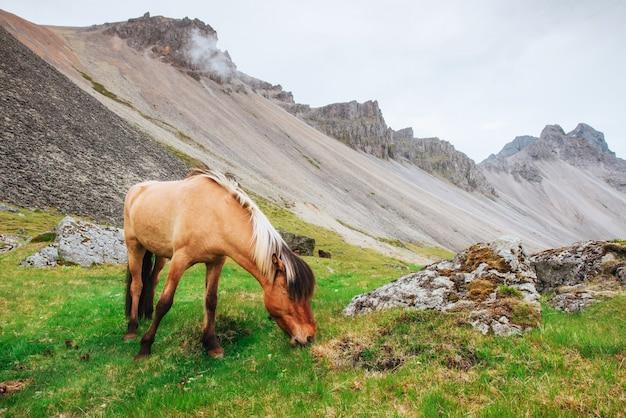 Charmante islandpferde auf einer weide mit bergen