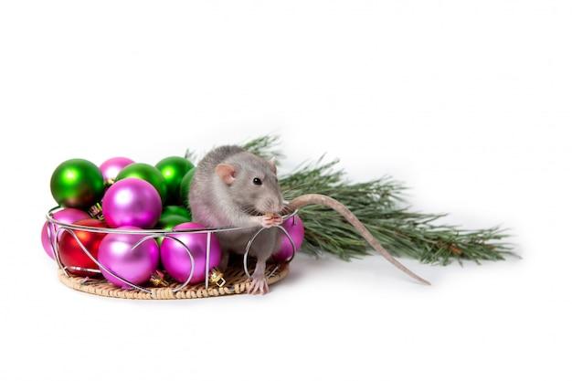 Charmante ratte sitzt neben weihnachtsschmuck und einem tannenzweig