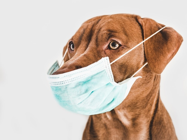 Charmanter, entzückender brauner welpe, der eine medizinische maske hält.