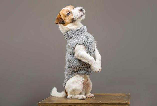 Charmanter jack russell posiert in einem studio in einem warmen grauen pullover