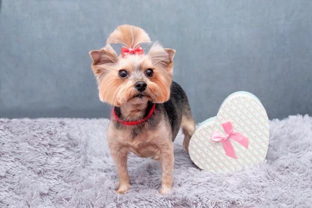 Charmanter yorkshire-terrier-hund neben einer geschenkbox