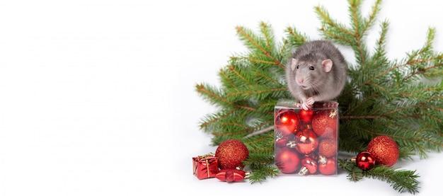Charming ratte dumbo mit weihnachtsschmuck. 2020 jahr der ratte. fichtenzweige, rote weihnachtskugeln. chinesisches neujahr.