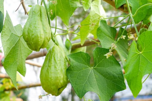Chayote (sechium edule), fruchtgrün im garten, süßer geschmack, seine blätter können gegessen werden.