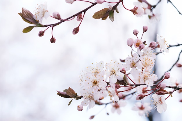 Cherry blossom- oder sakura-blume auf naturhintergrund.
