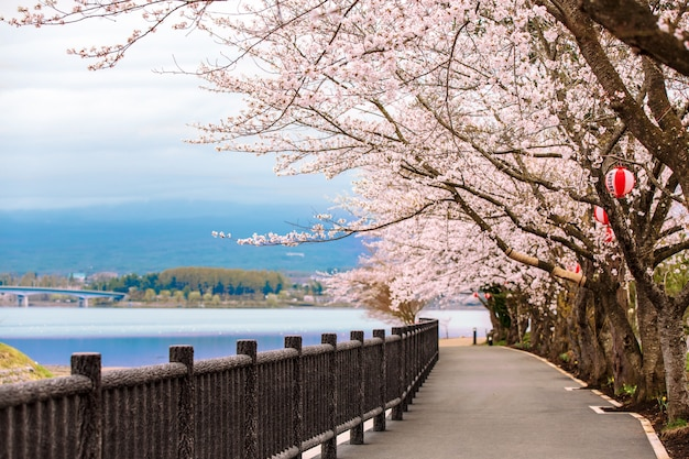 Cherry blossom path in kawaguchiko lake während des hanami-festivals