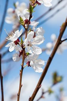 Cherry tree, der mit weißen blumen blüht.
