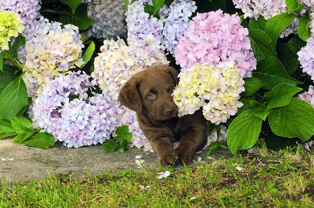 Chesapeake bay retriever, hündchen.