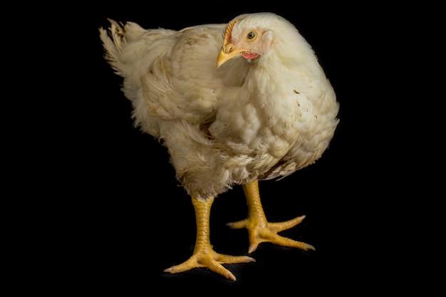 Chicken broiler isoliert auf schwarz