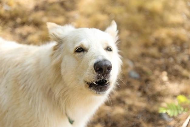 Chien berger blanc suisse im sommerwald heult und bellt der hund