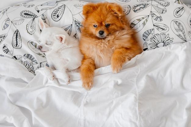 Chihuahas, die in einem bett schlafen