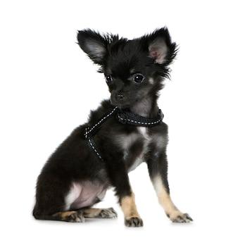 Chihuahua (3 monate)