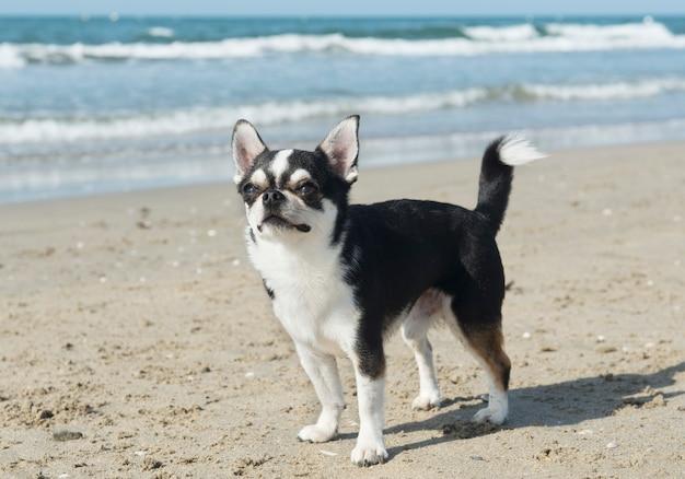 Chihuahua am strand