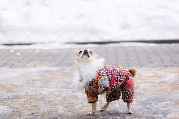 Chihuahua-anzug im winter