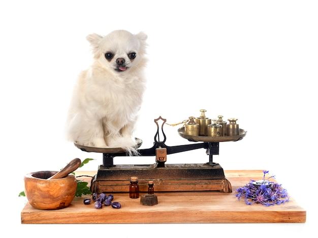 Chihuahua auf einer roberval-waage vor weißem hintergrund