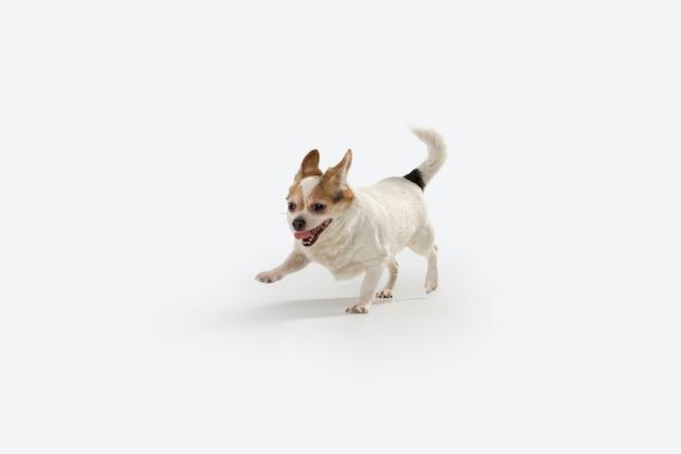 Chihuahua begleithund auf der flucht. nettes verspieltes cremebraunes hündchen- oder haustierspiel lokalisiert auf weißer wand. konzept der bewegung, aktion, bewegung, haustiere lieben. sieht glücklich, entzückt, lustig aus.