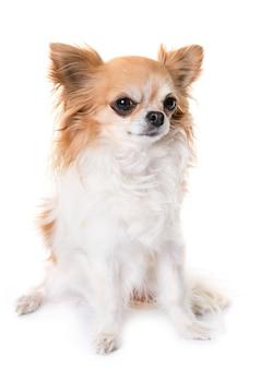 Chihuahua, die im studio heulen