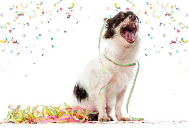 Chihuahua feiern und gähnen
