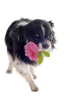 Chihuahua hält eine blume mit dem mund