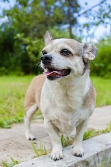 Chihuahua-hund im park an einem sonnigen tag