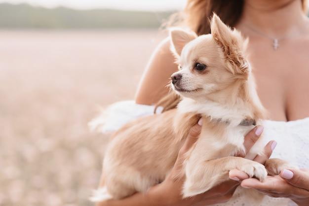 Chihuahua-hund in den händen eines mädchens auf einem feld im sommer in der natur