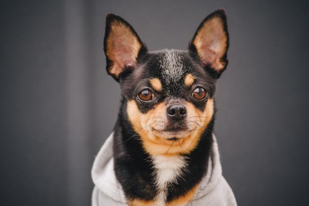 Chihuahua-hund in einem grauen sweatshirt. schwarzes hundeporträt nahaufnahme in kleidern.