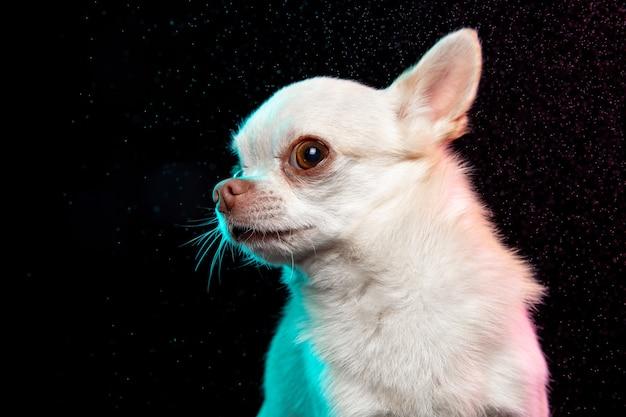 Chihuahua-hund posiert. süße verspielte weiße creme hündchen oder haustier posiert auf schwarzem hintergrund isoliert. konzept der bewegung, aktion, bewegung, haustierliebe. sieht glücklich, erfreut, lustig aus. bild in halber länge.