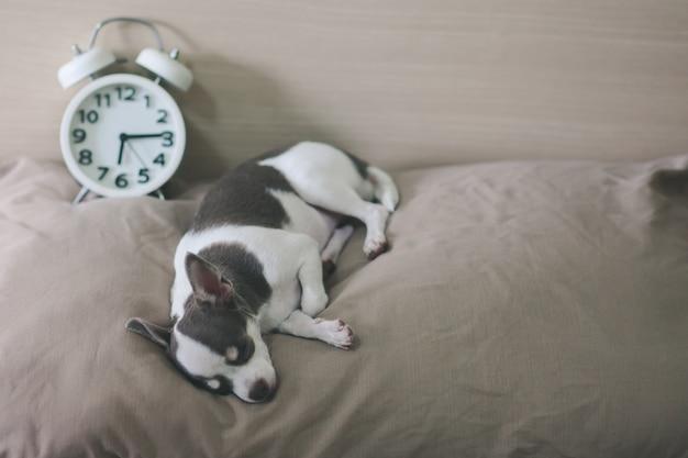Chihuahua-hund schläft