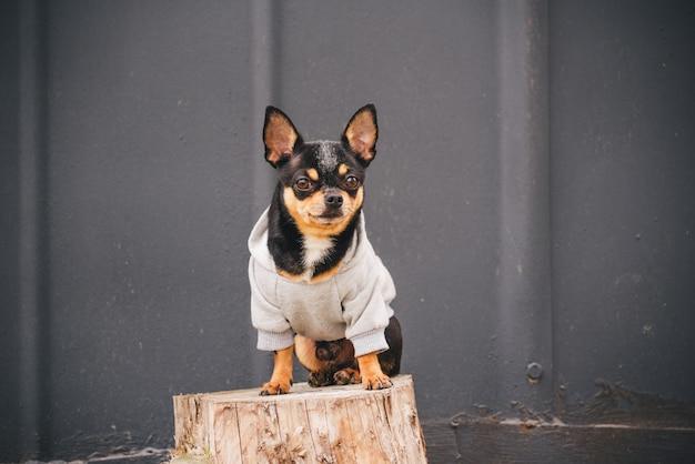 Chihuahua hund sitzt auf einem baumstumpf in einem grauen sweatshirt. schwarzer hund in kleidern.