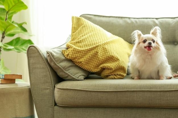 Chihuahua-hunde auf dem sofa